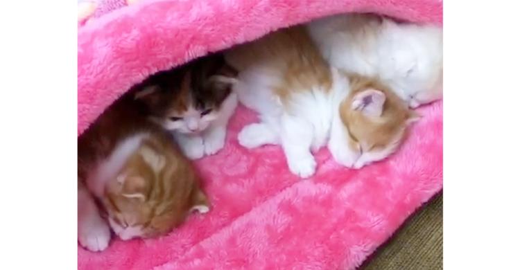 お布団の中でスヤスヤ眠る子ネコたち。最後まで頑張ってたコもみんなと一緒に夢の中へ…♡