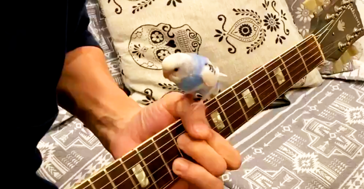 【インコちゃんとセッション!?】ギターの上で踊るように演奏♪ 飼い主さんとの呼吸はバッチリで…♡