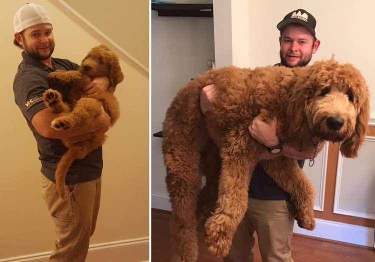 【大きくなりました♡】ゴールデンドゥードルの子犬の成長が… 想像をはるかに超えてきた Σ(゚Д゚)!