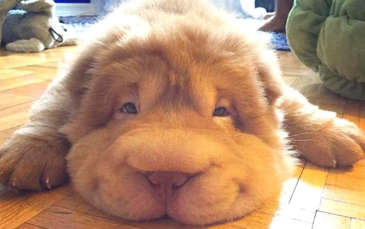 【クマさんみたい♡】もっふりワンコ、トキオくん。ボリューミーなかわいさに心奪われる♡ 10枚