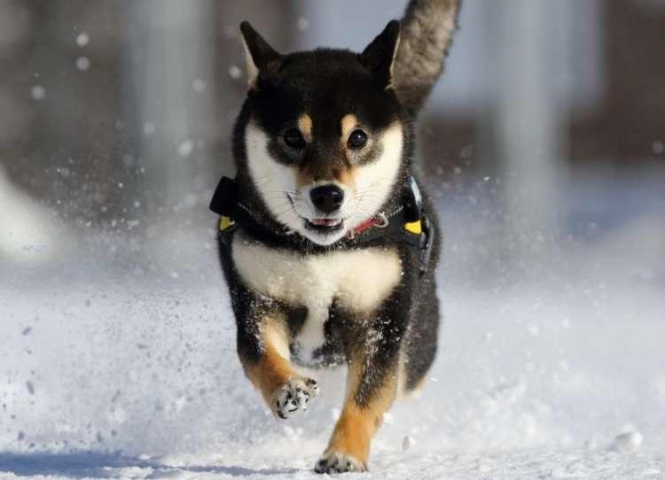 【雪が降ったぞーッ!】積もった雪に大喜びなワンコたち。元気いっぱい、はしゃぎまくる(*´艸`*)!