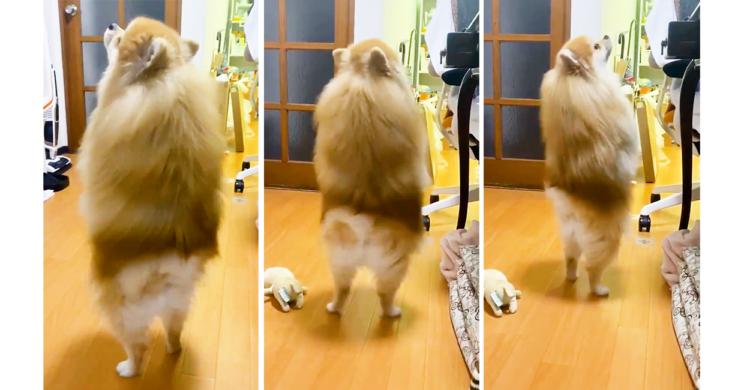 【犬であることをうっかり忘れちゃった♪】 ポメくんが二足歩行で歩き回ること…なんと1分近く!?
