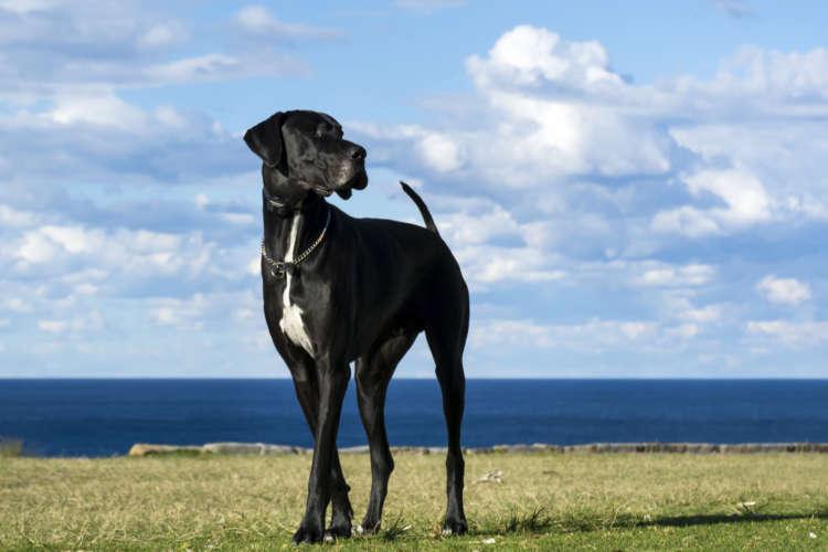【獣医師監修】グレート・デーンの飼い方としつけについて 基本を知って仲良くなろう