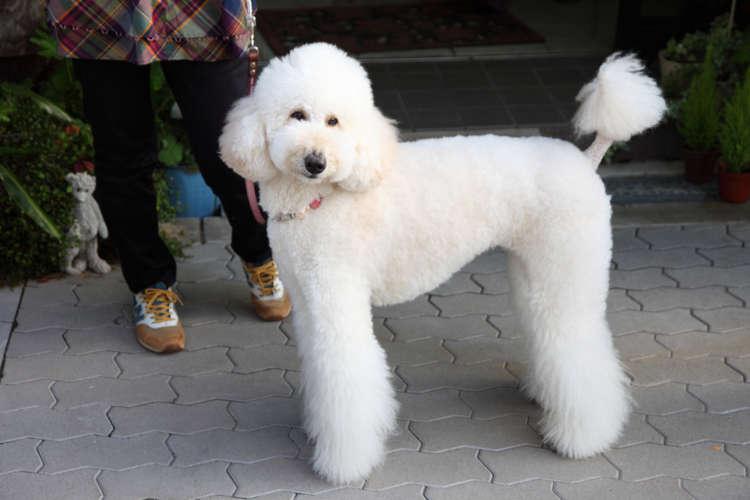 おおらかでやさしい大型犬、スタンダード・プードルの里親になるには