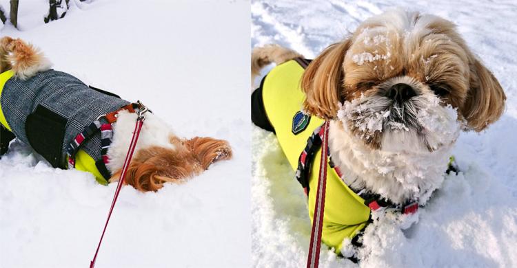 【これぞまさに雪化粧!? 】新雪めがけて自ら顔面ダイブ♡ 笑いに貪欲な北国シーズーちゃん♪