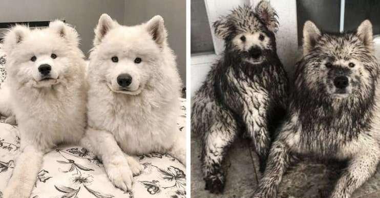 【白犬から黒犬へ大変身!?】泥んこ遊びしすぎたモフモフ兄弟。ここまで汚れたら笑うしかない!!