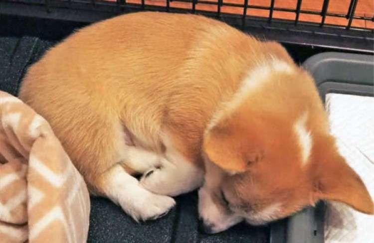 シャンプーの後、疲れてすぐ眠っちゃった子コーギーさん…。胸がキュ〜ンとなる愛らしい姿が話題に♪