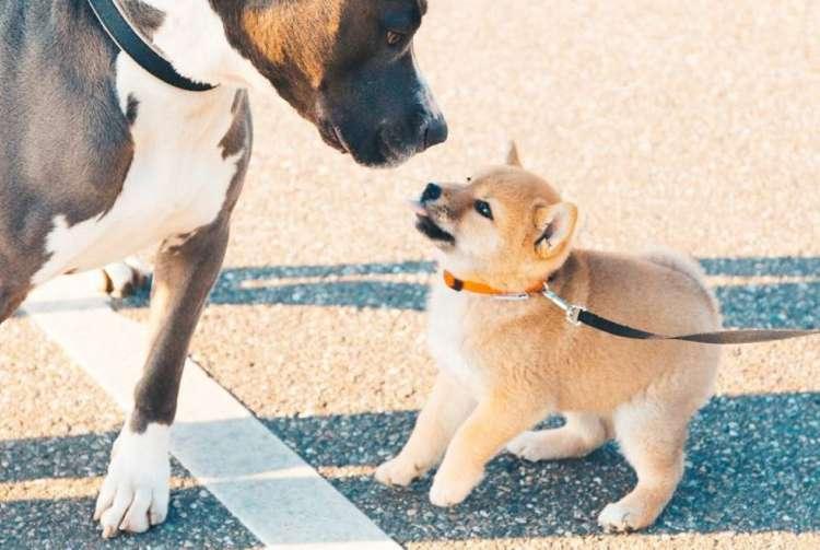 オランダに住む柴犬アイカ。のびのび暮らす日常に、あたたかさを感じる写真集♡(10枚)