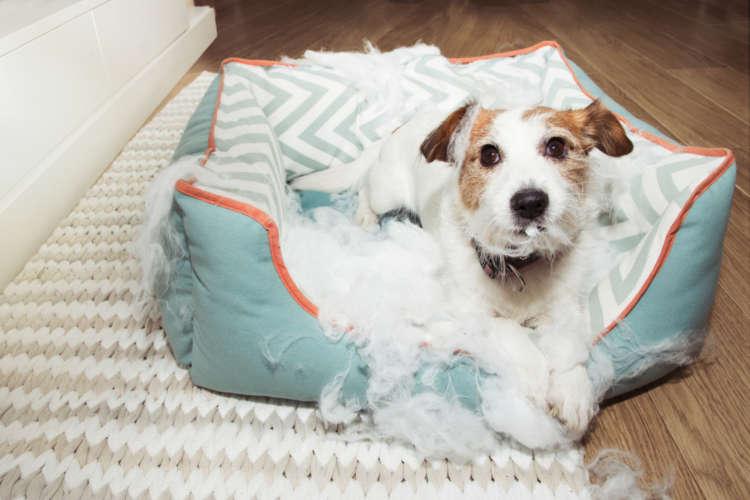 【獣医師監修】犬がベッドを噛む! 噛み癖がつく理由と、その対策について