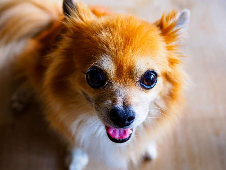 人気のミックス犬【チワワ×ポメラニアン】の性格について