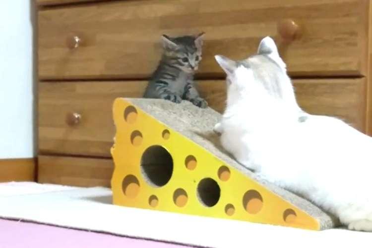 【はじめまして…!】新入り子猫が、先輩猫と初カラミ。「絶妙な距離感」にキュンと来る…(〃∇〃)