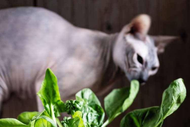 【獣医師監修】尿路結石に注意!  猫にほうれん草を与えてはいけません