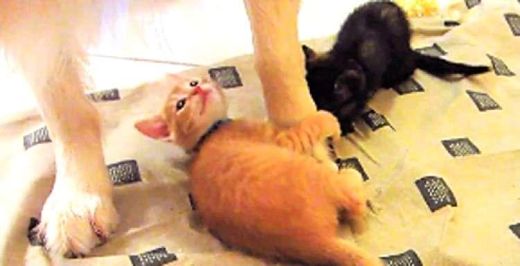 【されるがまま♡】子猫に足をカプカプされるゴールデン! → 優しすぎる対応にホッコリ(*´ェ`*)
