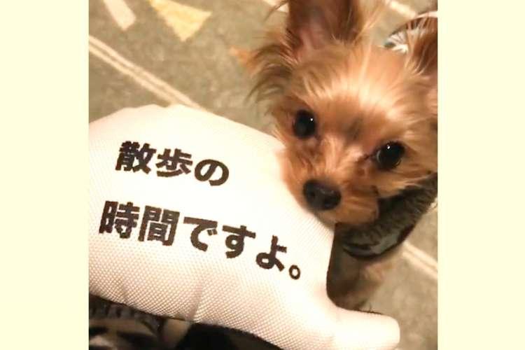 「今日はお散歩行きません」と書かれたおもちゃが欲しいワンコ。なんとかその思いを伝えようと…(笑)