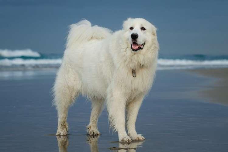 グレート・ピレニーズってどんな犬? 歴史や体の特徴について