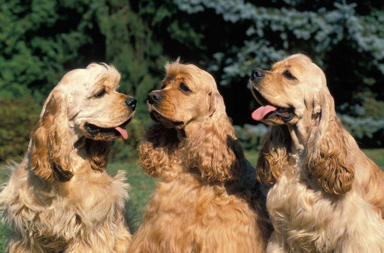 アメリカン・コッカー・スパニエルってどんな犬? 歴史や体の特徴について