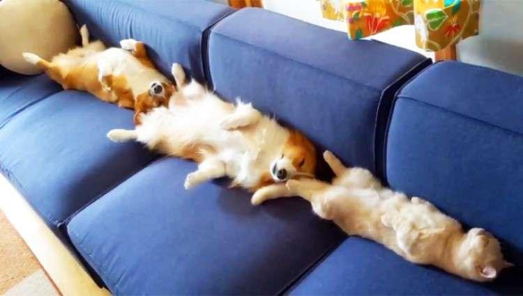 【ヘソ天が渋滞中!?】飼い主さんが座ろうとしたソファーで爆睡の3匹。シンクロ姿に思わずクスッ♡