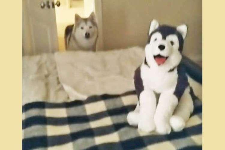 【その子…誰?】ベッドの上に見知らぬワンコを発見したハスキーくん。その時の反応が可愛くて…♡