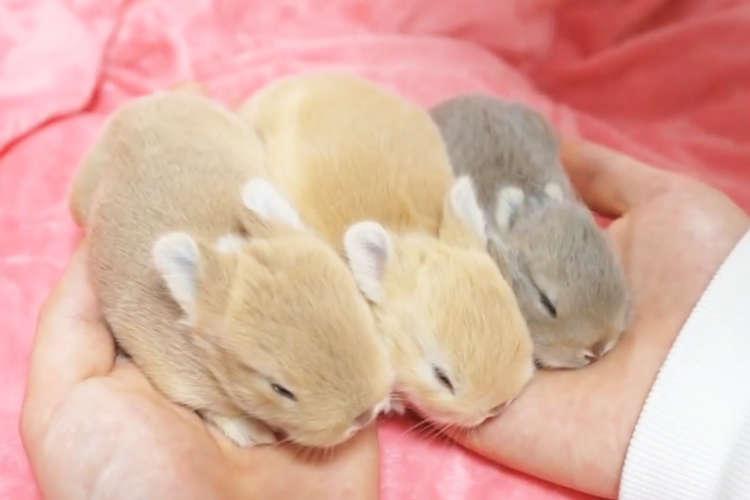 手のひらサイズの三つ子のウサギと、育児に奮闘する母ウサギ。ちょっぴり珍しい授乳シーンを大公開♡