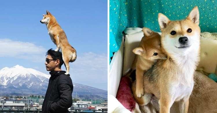 肩乗りワンコで有名な柴犬のんちゃん。今度は愛娘を肩にのせてにっこり。寄り添う親子が愛おしい♡