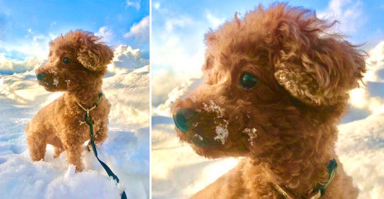 【まるで雲の上を歩いているみたい♪】飼い主さんがお庭で撮ったトイプーちゃんが神秘的すぎた(艸д゚*)