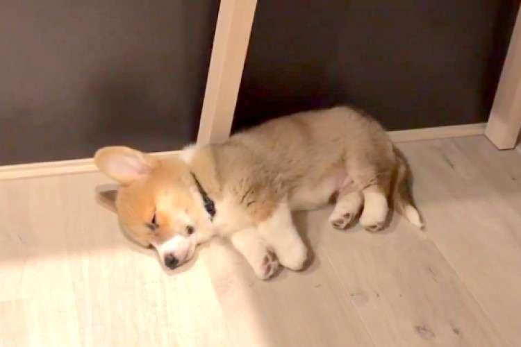 ごはんの気配を察知した子犬→『起きなきゃワン!』一瞬で目覚める、勢いがかわいい…♡ 10秒