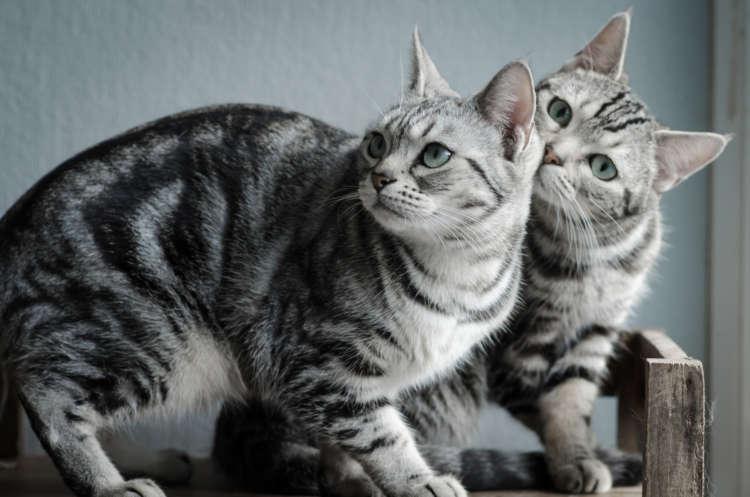 アメリカンショートヘアってどんな猫? 歴史やカラダの特徴について