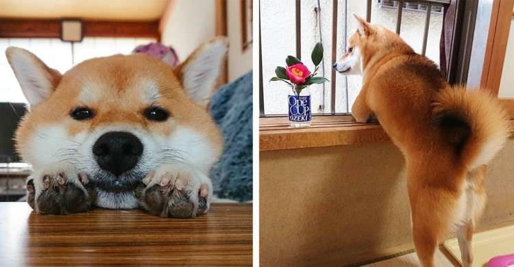 【背中で語る柴犬】お外チェックをする愛犬に黄昏アイテムを添えてみたら、哀愁が漂ってきた(´∀`*)