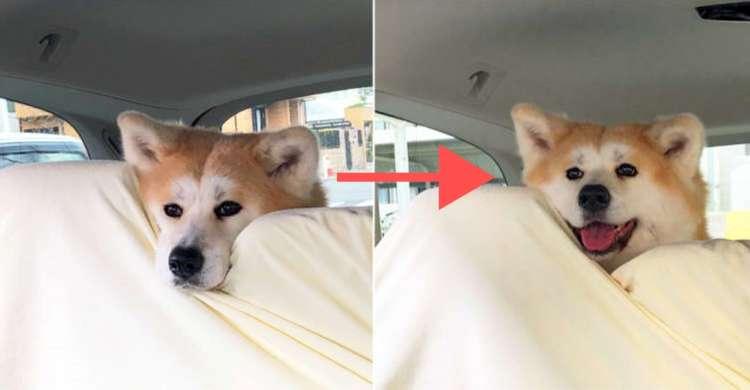 【すぐ顔に出ちゃう秋田犬】病院へ行く前と帰り道 →コロッと変わる表情が、あまりにも違いすぎ!?