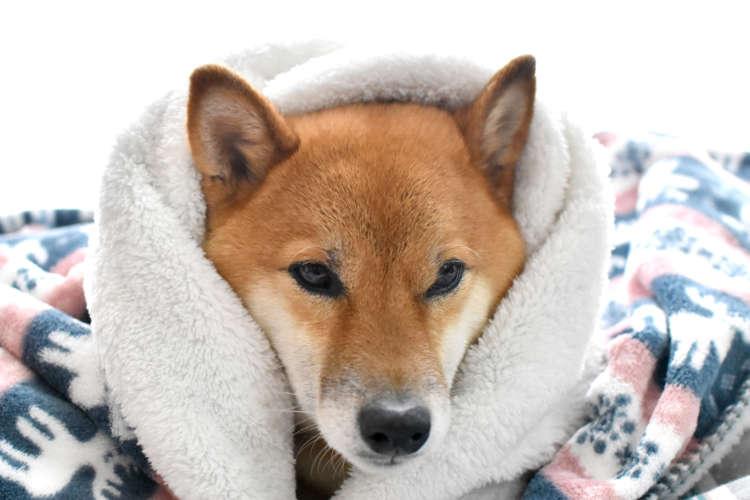 【獣医師監修】柴犬のカラダが震える理由と対処法