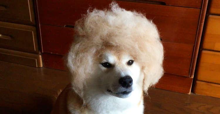 【ちょっとお茶目なサロモ犬!? 】地毛100%のウィッグを被り最先端ヘアーを披露♪