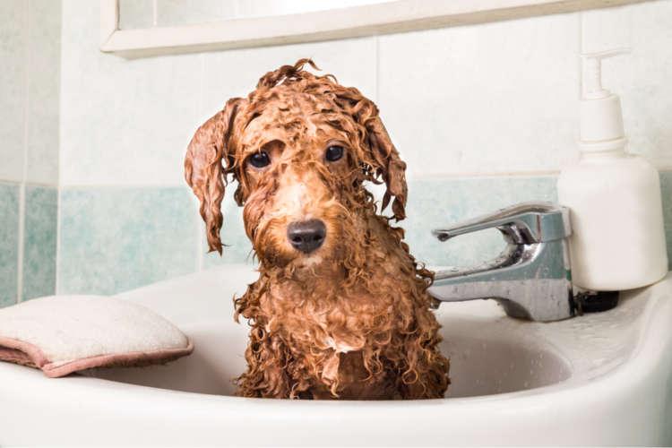 【獣医師監修】トイ・プードルをお風呂に入れる方法と注意点