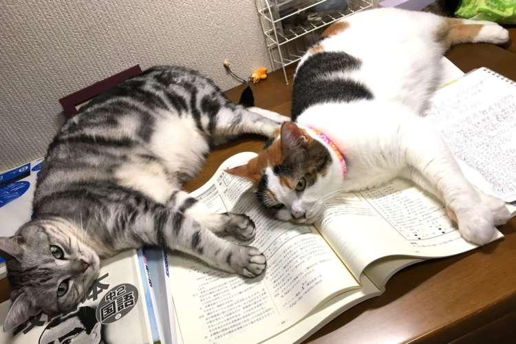 「勉強できないぃぃ!」と言われて駆けつけて見たら→ 2匹のニャンコが教科書の上にゴロン(笑)
