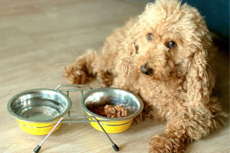 【獣医師監修】トイ・プードルの平均体重と適切なエサの与え方
