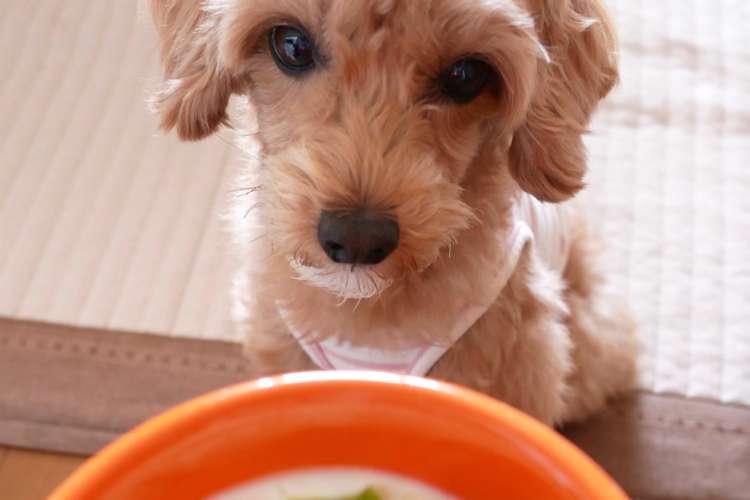 【獣医師監修】トイ・プードルの仔犬に与えるエサ、その量や種類について