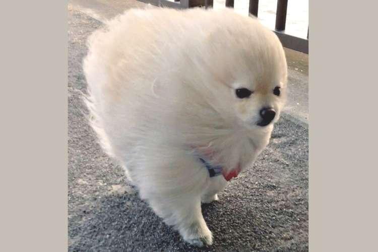 モコモコのポメ君の散歩中に、強い風が吹いた結果 → 荒ぶる風で、超イケメンに豹変してた…!(6枚)