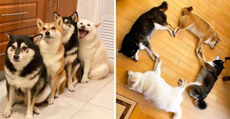 【見ているだけで元気になる!】 仲良しな柴犬4姉妹の可愛さにとことん癒やされる写真集♡ 9枚