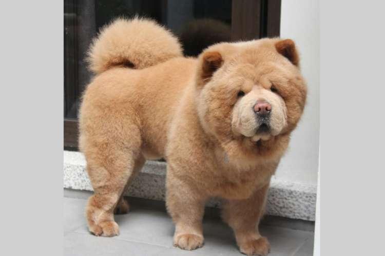 【ボク犬なんです♪】どうみてもクマさんに見える、もこもこのチャウ・チャウ犬が可愛かった…♡(10枚)