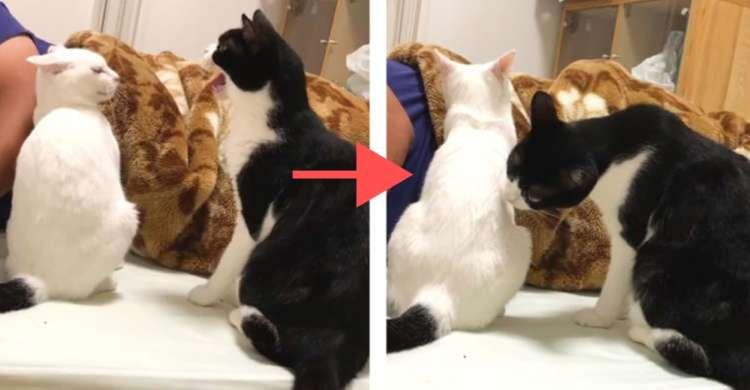 「シャーッ」と威嚇したと思ったらグルーミング!? 先輩ネコの不思議な行動の理由は…もしかして嫉妬♡