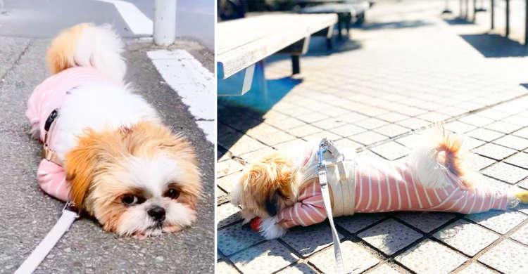 お散歩に行くとペタんと寝転んでしまうシーズー君♪ リラックスの仕方がお茶目過ぎッ♡