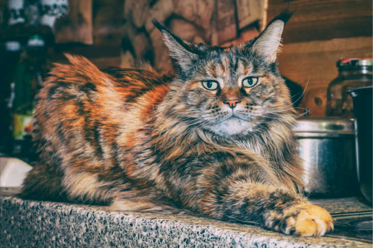 【猫の寿命】メインクーンの寿命や長生きさせるための方法、かかりやすい病気は?