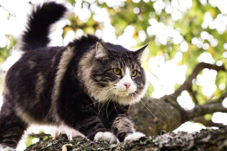 ノルウェージャンフォレストキャットってどんな猫? 歴史やカラダの特徴について