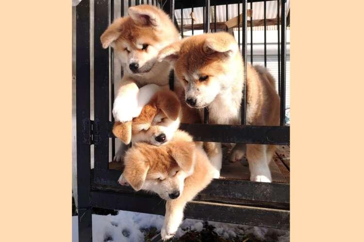 【ふわモコ団子♪】秋田犬の子犬たちが、むぎゅぅ〜っと重なっちゃった! 可愛すぎる光景にキュン♡