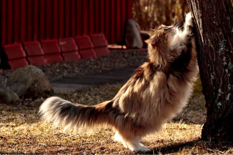 【獣医師監修】ノルウェージャンフォレストキャットってどんな性格? 付き合い方やお手入れについて