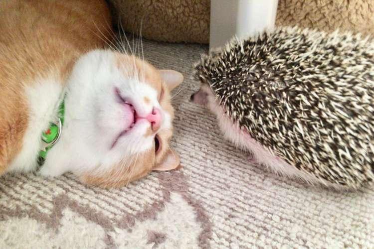 ニャンコとハリネズミは付かず離れずの丁度いい関係 → 絶妙な距離感が仲良しの秘訣だった(´ω`*)