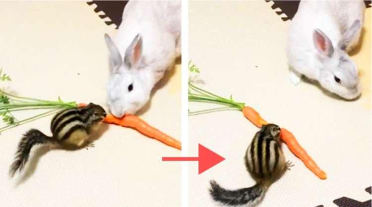 【人参を前にウサギとリスが大奮闘】リスの鉄壁ガードを破れるか! 凸凹コンビの戦いの行方が気になる♪
