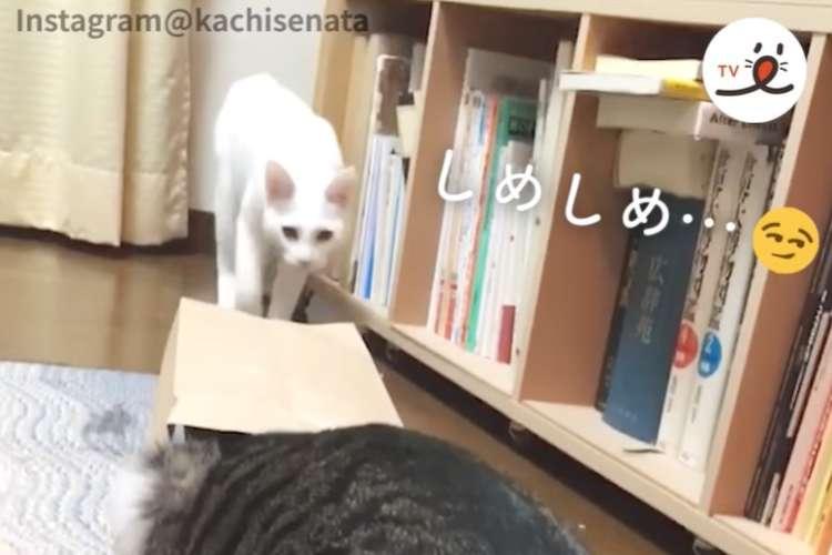 袋をかぶったニャンコにドッキリを仕掛ける白猫さん → まさかの逆ドッキリで、宙を舞う(ノ´∀`*)