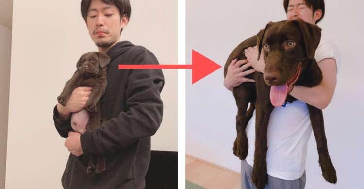 【子犬の成長スピード恐るべし】4ヶ月で5kg → 25kgに成長したラブラドールレトリバーの子犬さん