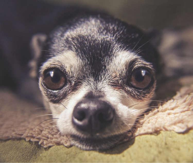 【獣医師監修】チワワの目のトラブル。眼球突出の対処法