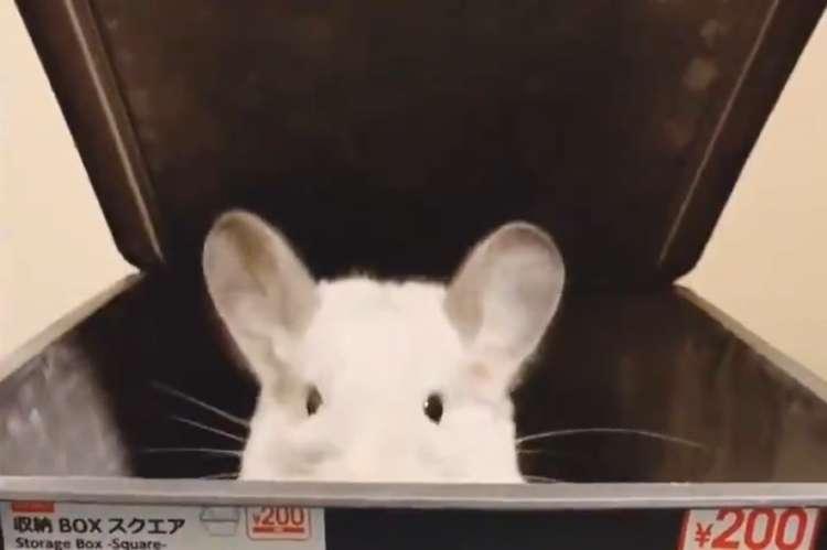 """【まるでおもちゃみたい!】 箱を開けるたび """"チンチラさん"""" が出現。 少しずつ変化する表情に…♪"""